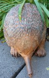 Hand Painted - Statue Echidna